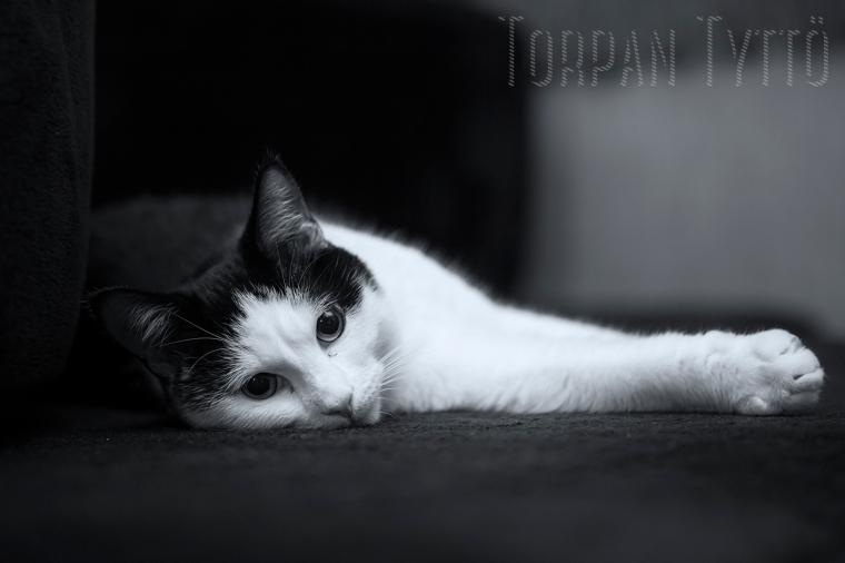 mustavalkoinen-kissa