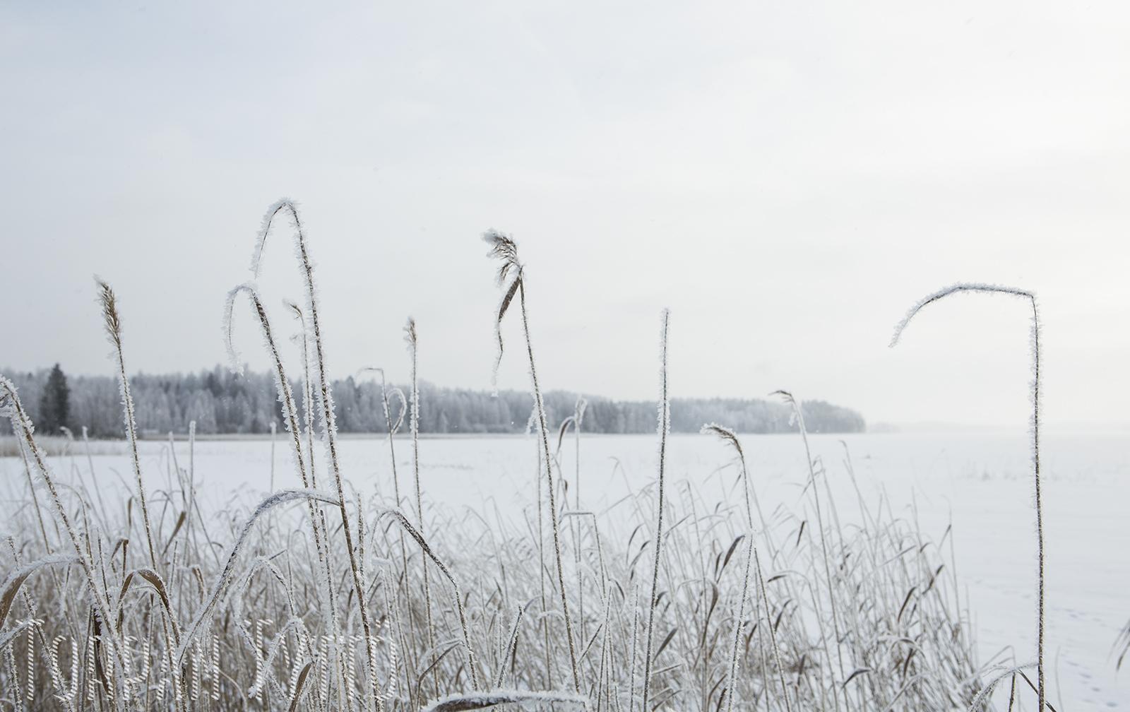 kaislikko-talvi