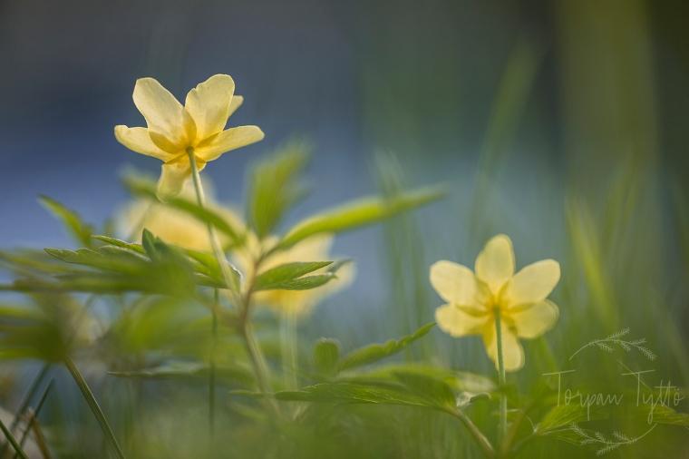 Keltavuokko kukka