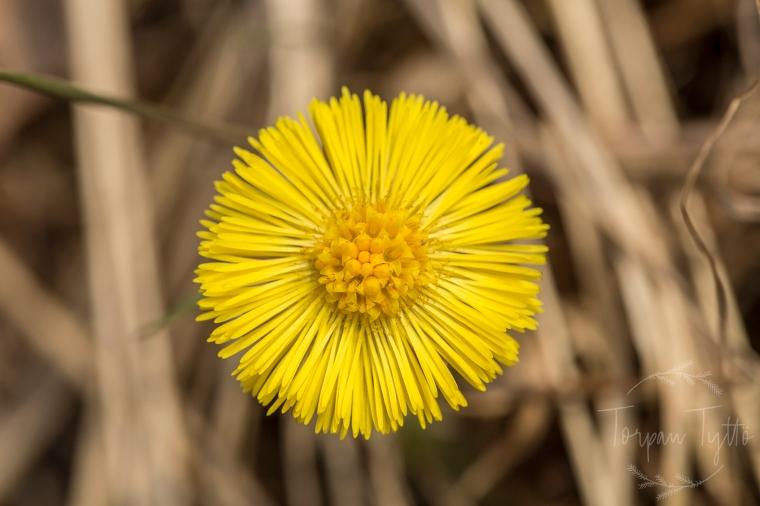 Leskenlehti kukka
