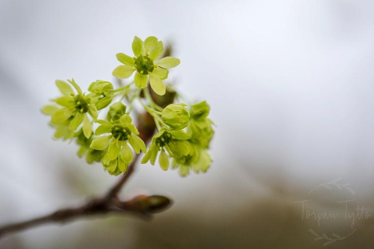 Vaahtera kukka
